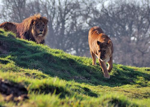 colour green closeup daylight nikon wildlife lion safari dslr vivitar d40 vivitarseriesone nikond40 manualmetering nometeringlense flickrbigcats
