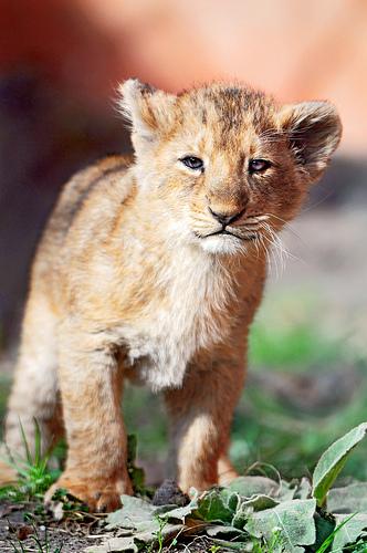 wild portrait baby cute standing cat walking zoo cub schweiz switzerland big nikon feline leo small zurich lion adorable kitty cuddly lovely zürich löwe felid löwen d300 panthera lionceaux pantheraleo jasraj jeevana lionceau löwenbaby vosplusbellesphotos