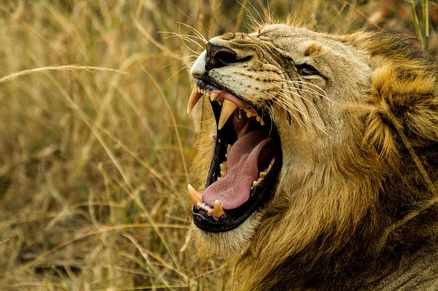 lion, roar, wildlife